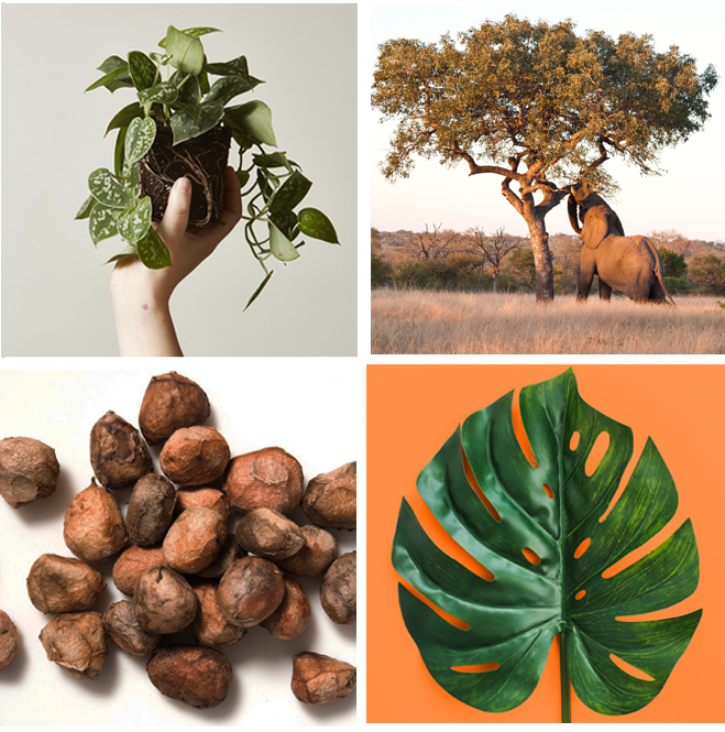 June 10th, 2018 - A History of Marula OilMarula oil originates from the extraction from the fruits of the Marula Tree. There are two types of Marula oil; one that is extracted from the seeds and one extracted from the nut's shell. Marula is harvested in Southern Africa and is traditionally used by the Tsonga people of South Africa and Mozambique for body lotion as it's high concentration of mono-saturated fatty acids and natural antioxidants provide for high moisturizing elements....