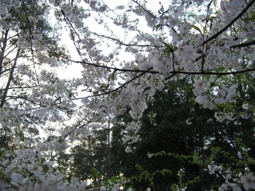 spring-tree-flowers.jpg