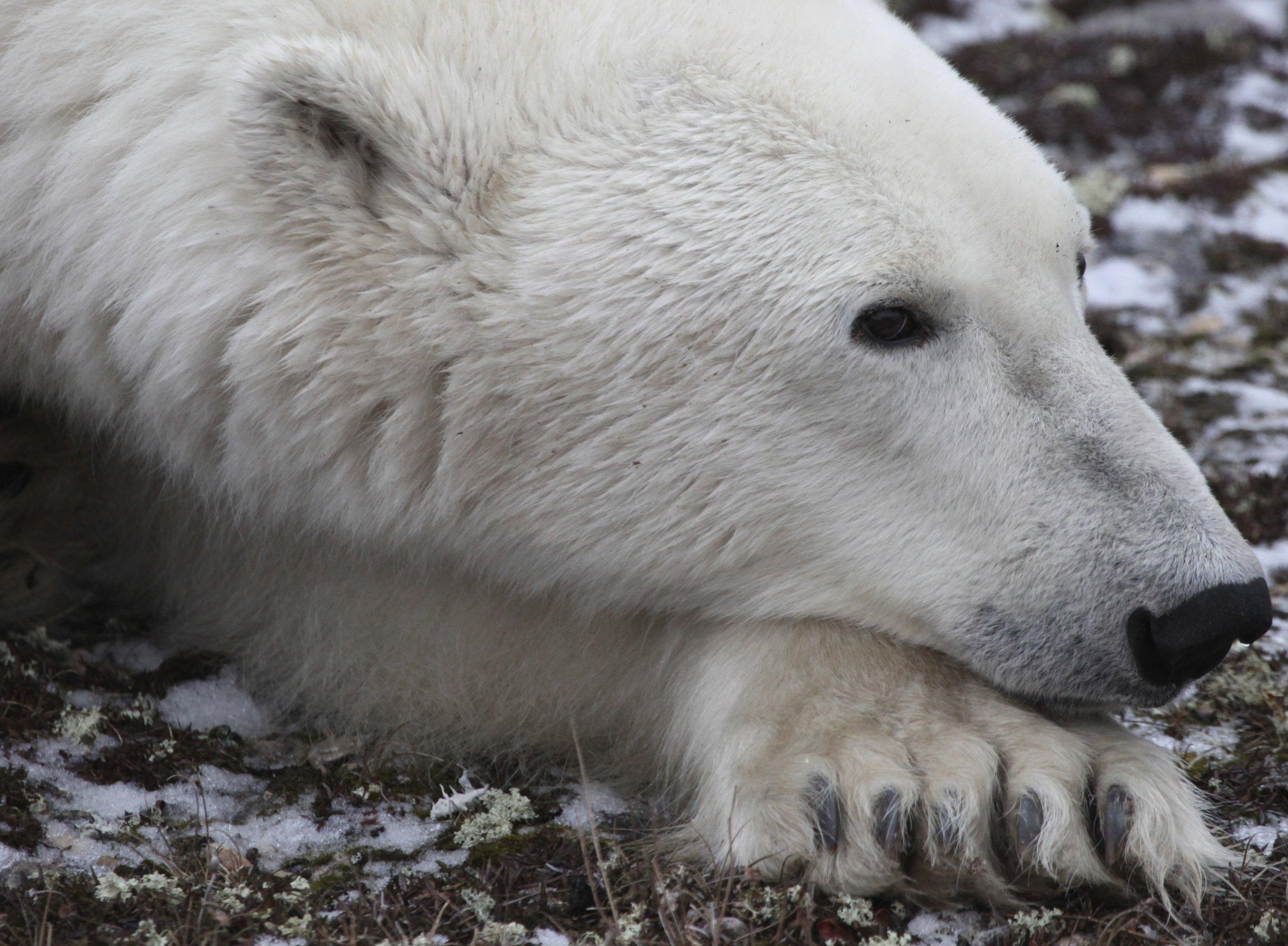 Polar Bear 3.JPG