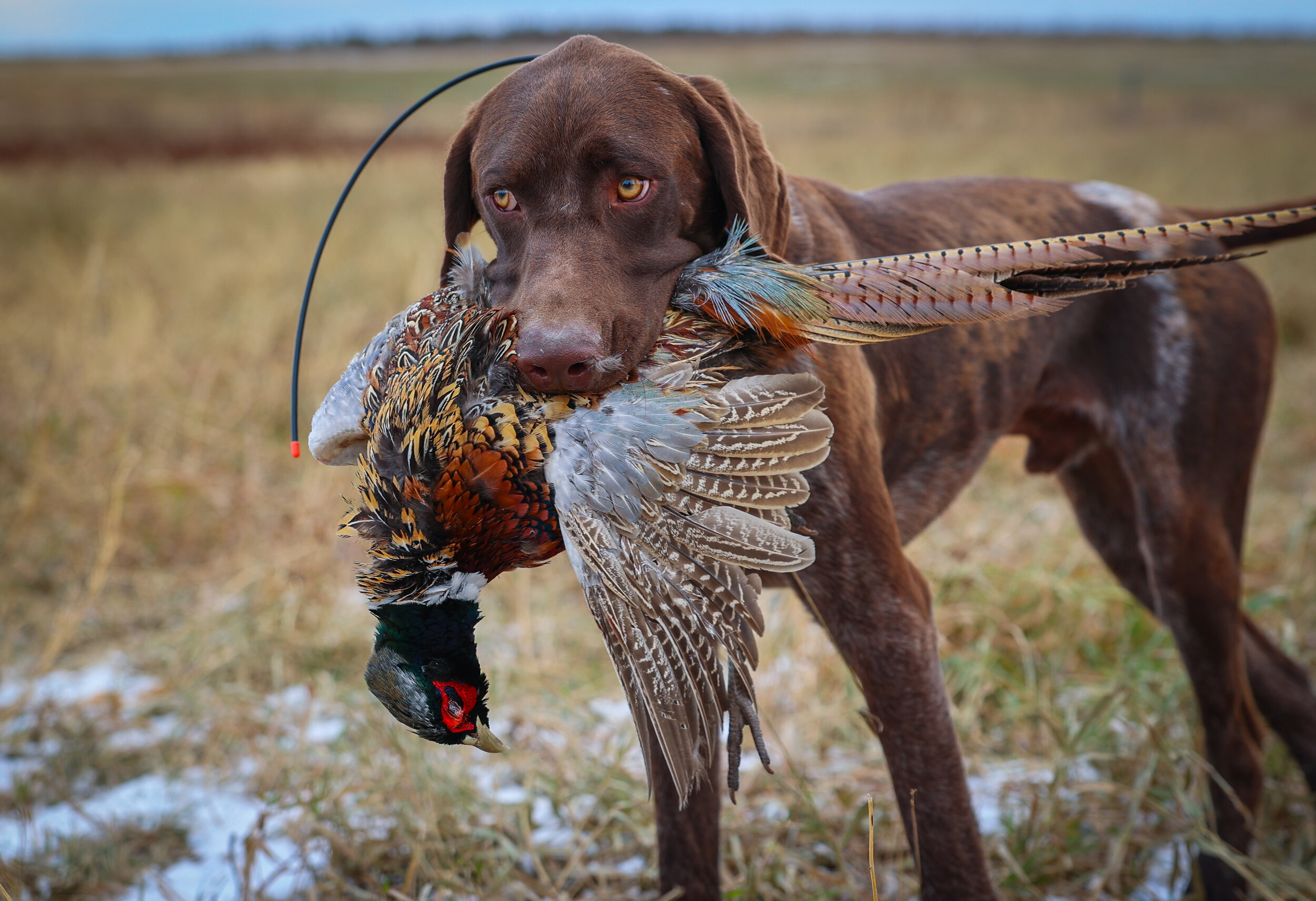 Chasing Pheasants: A South Dakota Cajun Invasion