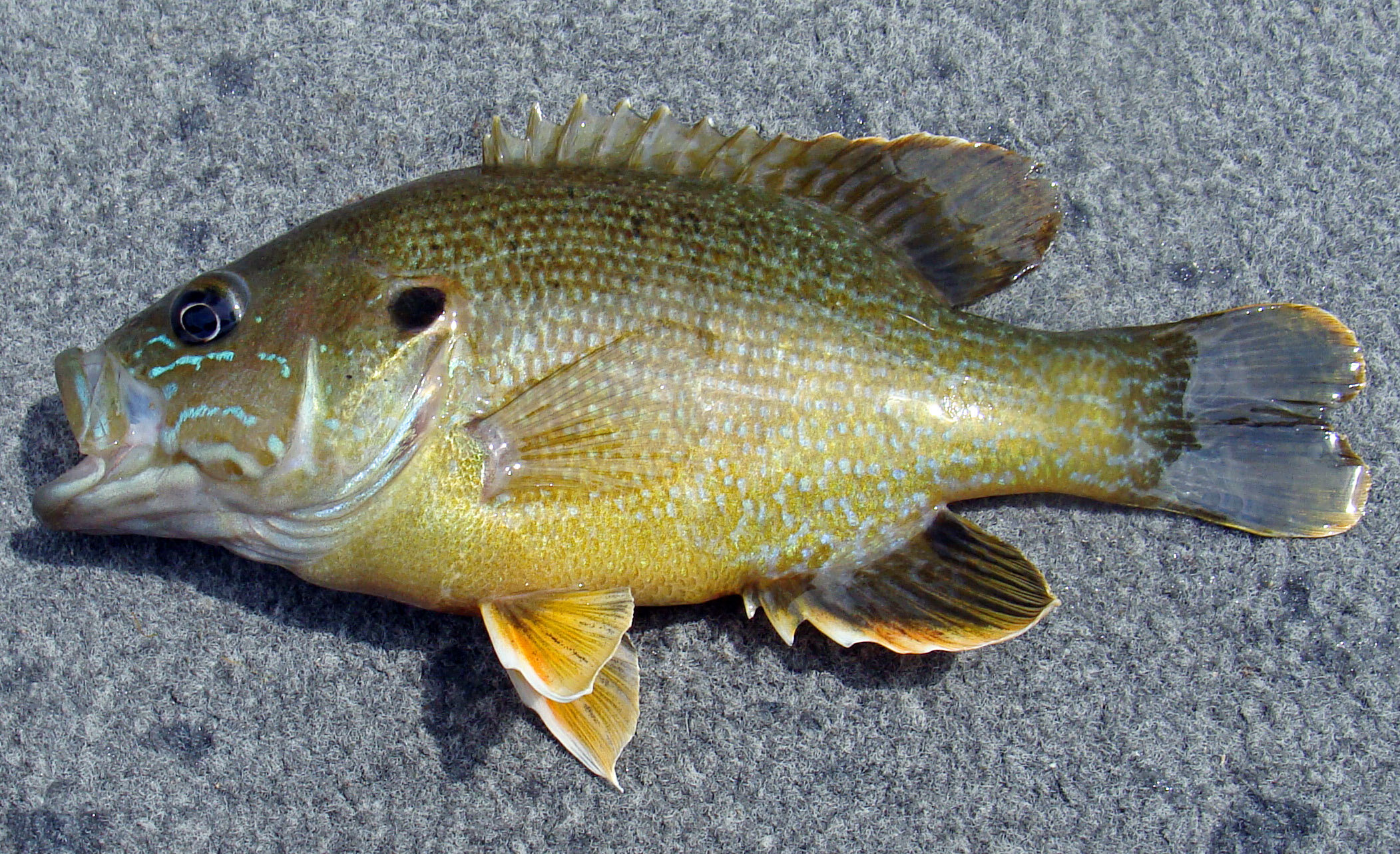 Wildlife Watching Wednesday: The Colorful Green Sunfish