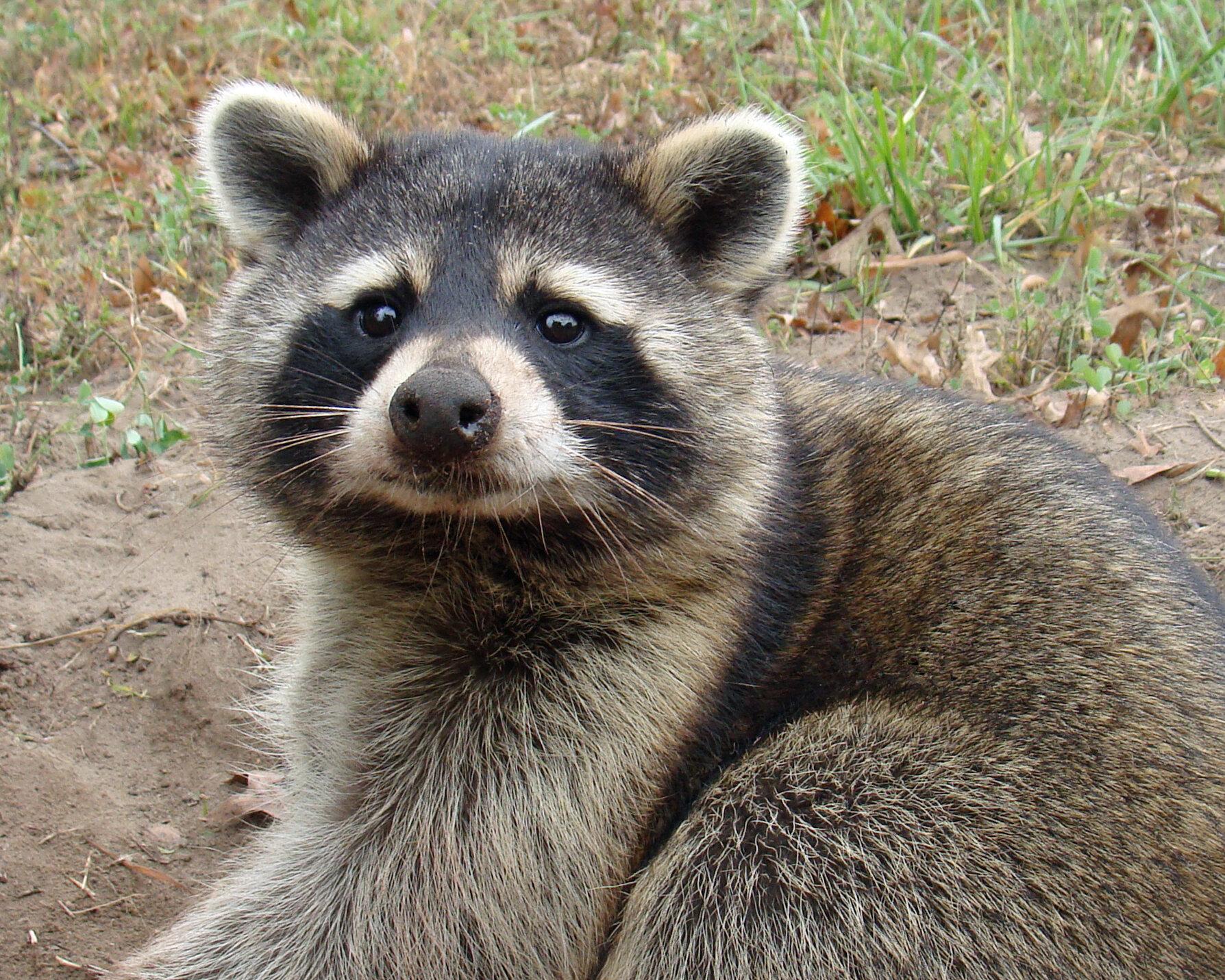 Wildlife Watching Wednesday: Raccoons, The Masked Bandits