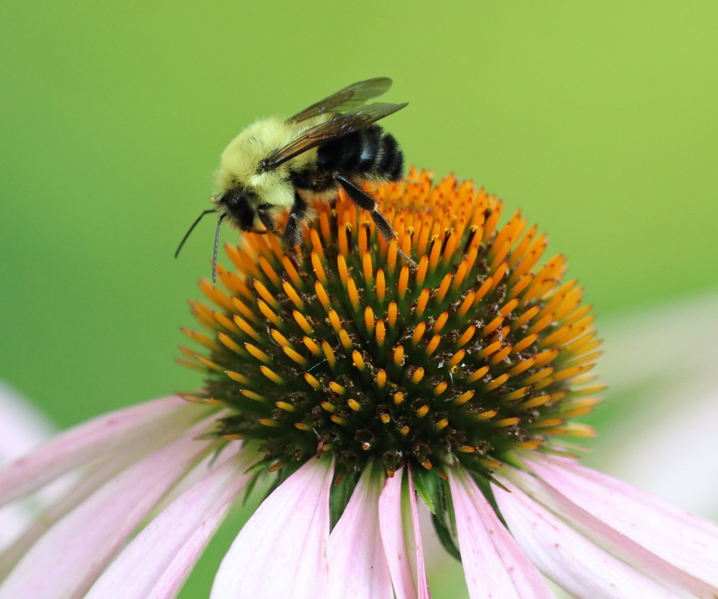 Wildlife Watching Wednesday: Bumblebees Are Important Pollinators