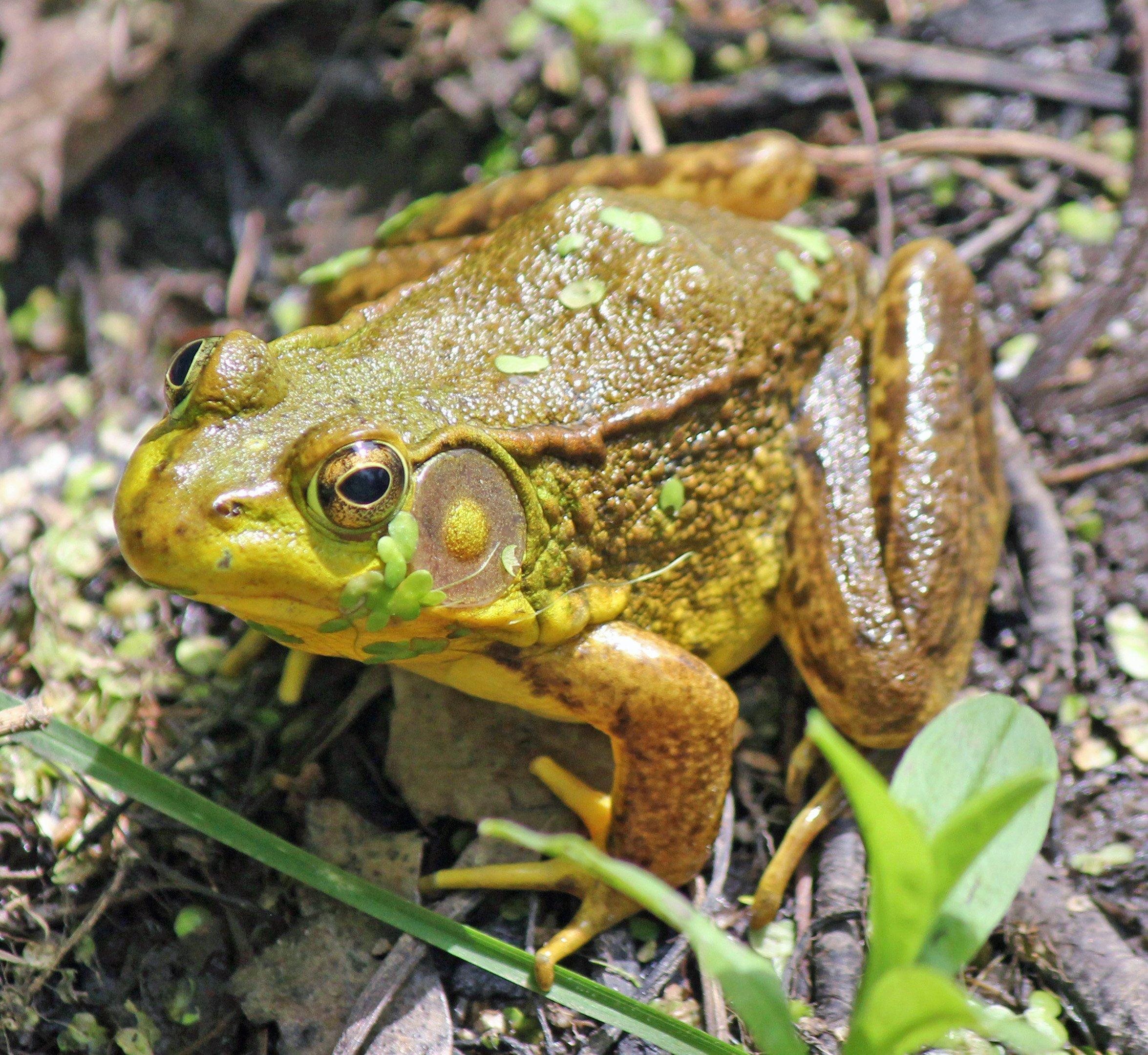 Wildlife Watching Wednesday: The Vocal Green Frog