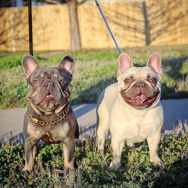 🚨6 more days🚨 💥Liah (Firefield Jewel) has a nice big old belly full of Trigger babies 💥 🔒1st pick female is reserved for @wow.frenchies 👍🏽 🔥We will be keeping first pick make or second female 🙌🏽