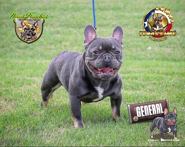 🚨The General open for stud service 💦🚨 🧬 ata blue & tan , carries testable bB and non testable bB , no brindle  4 panel health test clear ✅  @texaselitefrenchies  Www.texaselitefrenchies.com  @nvousfrenchies  Www.nvousfrenchies.com