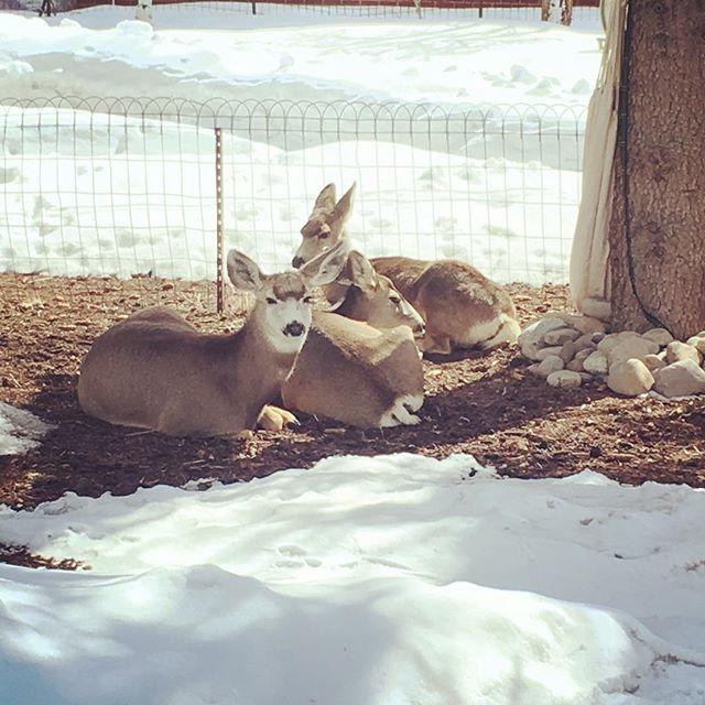 Everyone needs some yard deer. 🦌 #yarddeer #towndeer #chillinout #maxinrelaxin