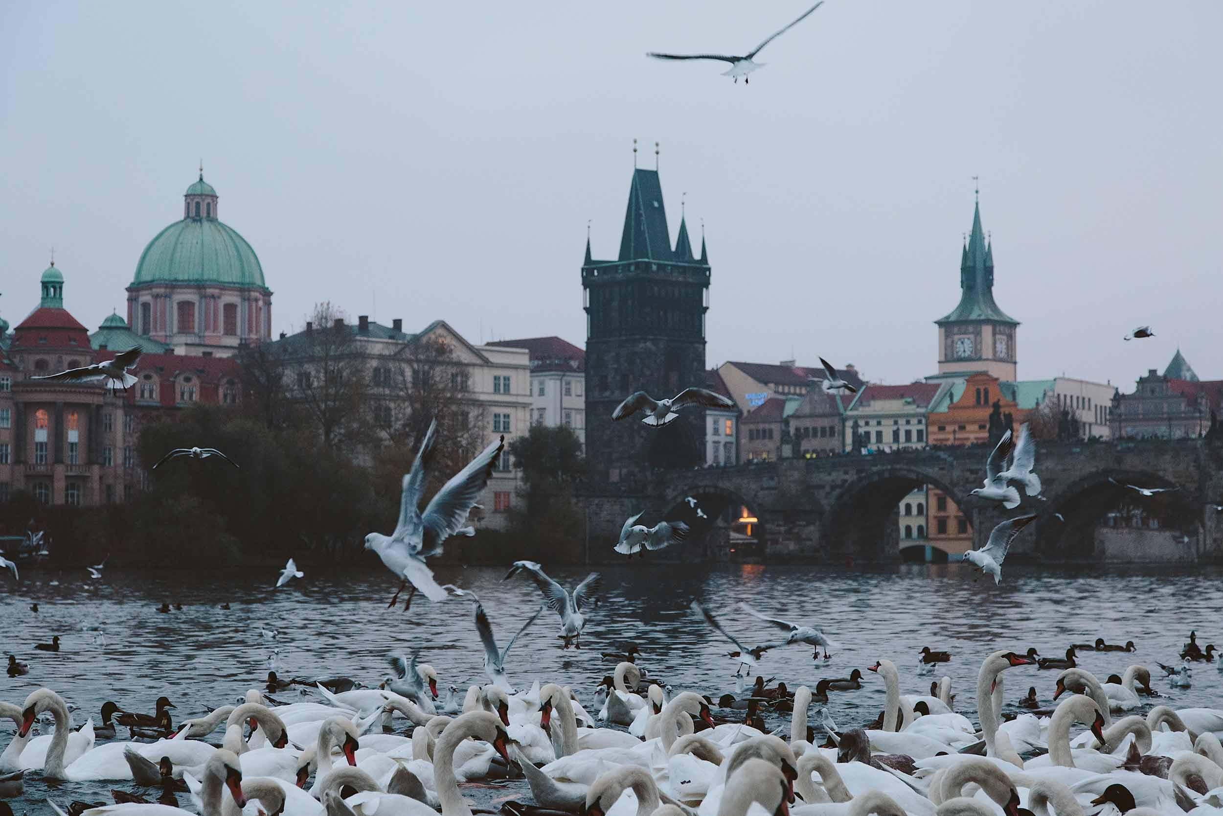 PragueBirdsSwansRiverNight.jpg