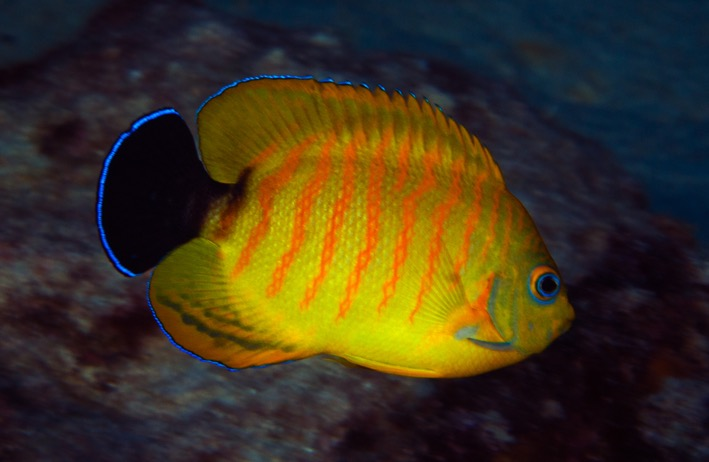 Lemon Peel and Eibl's Angelfish hybrid.