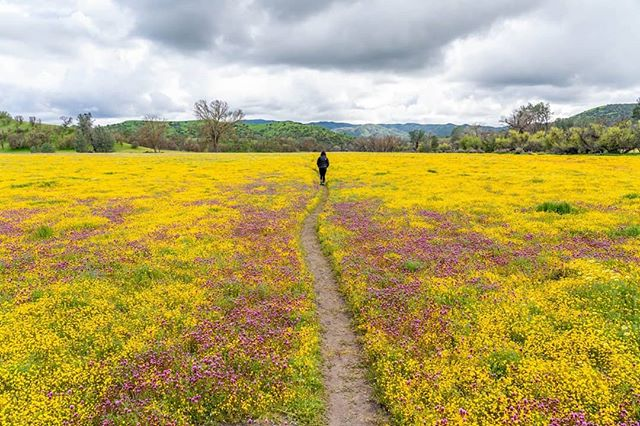 Alright, I'm hopping on the #wildflowers #superbloom band wagon. I finally went to see them, and they really are incredible. You feel like you're in a magical animation. But I just want to point out that it's really easy to enjoy them WHILE STAYING ON THE TRAILS, like the person in the first photo. In the second photo you see some people (middle-aged, white people who probably consider themselves environmentalists) trampling through the flowers. In the third photo you see the damage of a single footprint. These wildflowers are incredibly delicate. Every step off the path left holes filled with dead flowers, and there were dozens of people doing this, often with their dogs. To me, it smacks of privilege. You are not special. You don't have enchanted feet that leave flowers unscathed. Please, stay on the trails. For all the photos I'll be posting for the next couple of days know that not a single flower was stepped on. It's really not that hard. #connectedstates . . . . . . . #flowers#stayonthetrail #leavenotrace #lowimpact#poppy #protectourfuture #sustainableuse#bethechangeyouwanttoseeintheworld#bethechange #goodinfluence #good#responsiblebehavior #yourpubliclands #ourpubliclands#protectyourpubliclands#protectyourfuture #noexcuse #knowledgeispower#California #sonyalpha @publiclandshateyou #PublicLands #KeepItPublic #publiclandshateyou