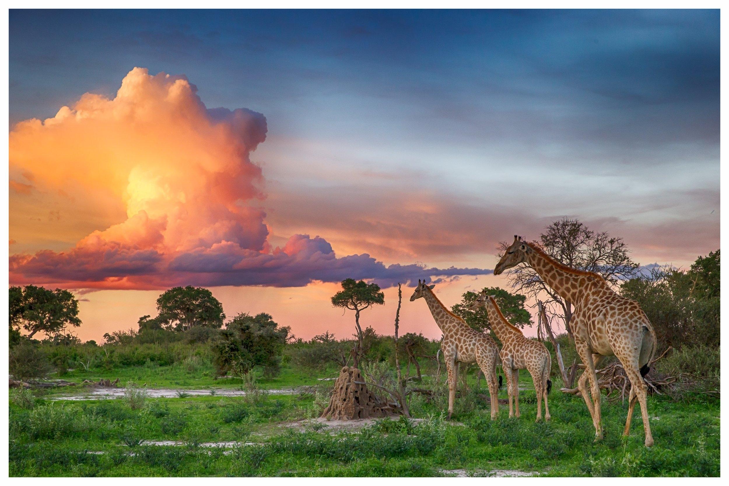 Botswana Artenvielfalt für Tier- und Naturliebhaber - In erster Linie berühmt für das Okavango Delta, können Sie in Botswana noch das Gefühl echter Wildnis erfahren. Die Camps sind mit nur wenigen Zelten meist klein und relativ weit voneinander entfernt. Während der Pirschfahrten begegnen sich nur selten Fahrzeuge, dafür können Sie eine beeindruckende Vielzahl von Tierarten beobachten. In Botswana wird viel Wert auf Nachhaltigkeit im Tourismus gelegt, so dass die touristischen Aktivitäten auf Qualität statt Quantität ausgerichtet und daher besonders schön sind. Selbstfahrer sind in Botswana nur selten zu finden, das Land lässt sich auf Flugsafaris am besten erkunden. Mit seiner einzigartigen Tierwelt lässt sich Botswana darüber hinaus wunderbar mit den beeindruckenden Landschaften Namibias kombinieren.