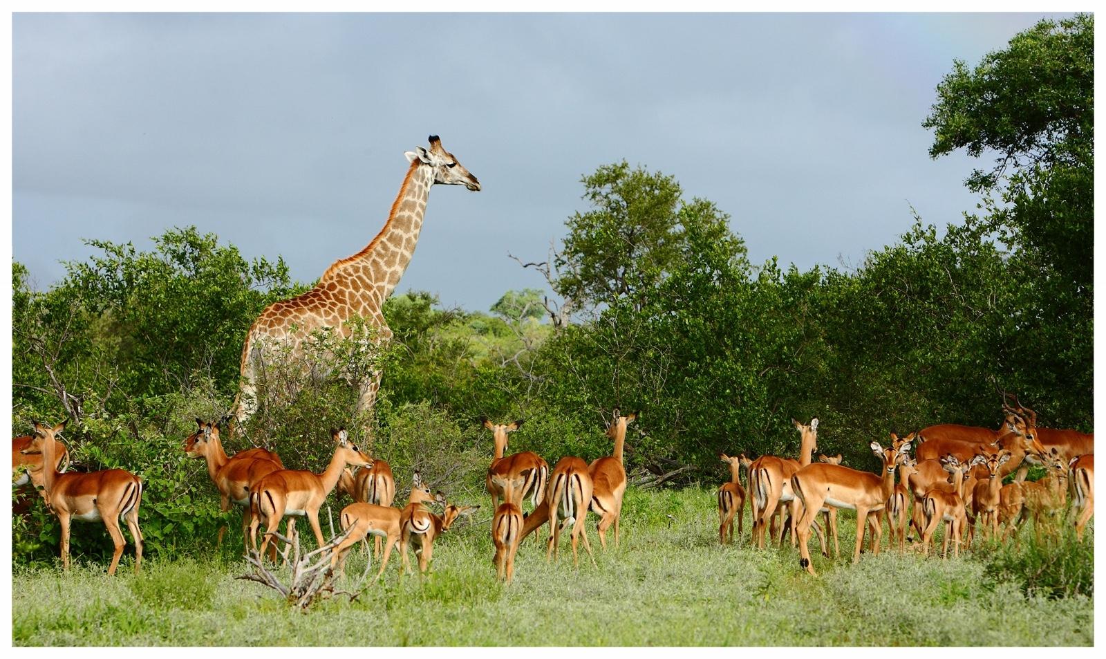 Südafrika Erstklassige Safaris und cooler Lifestyle - Südafrika verbindet Zivilisation und Wildnis und ist deshalb der perfekte Ort für Safari-Einsteiger. Reisen können in Kapstadt in erstklassigen Hotels, bei tollen Weinen und hervorragendem Essen beginnen, das macht die Gewöhnung an den neuen Kontinent und seine Kultur ganz einfach, wenn man mit seinen besonders authentischen Ländern wie Botswana, Namibia, Tansania oder Kenia noch nicht vertraut ist. Die Auswahl an Lodges während der anschließenden Safari ist riesengroß und auch auf Annehmlichkeiten wie Klimaanlage und Roomservice muss nicht verzichtet werden. Ohne die Zivilisation jemals ganz aus dem Blickfeld zu verlieren, sind in der nördlichen Kalahari, den Waterbergen, der Gegend um den Krügerpark und auch nördlich von Durban beeindruckende Tierbeobachtungen möglich.