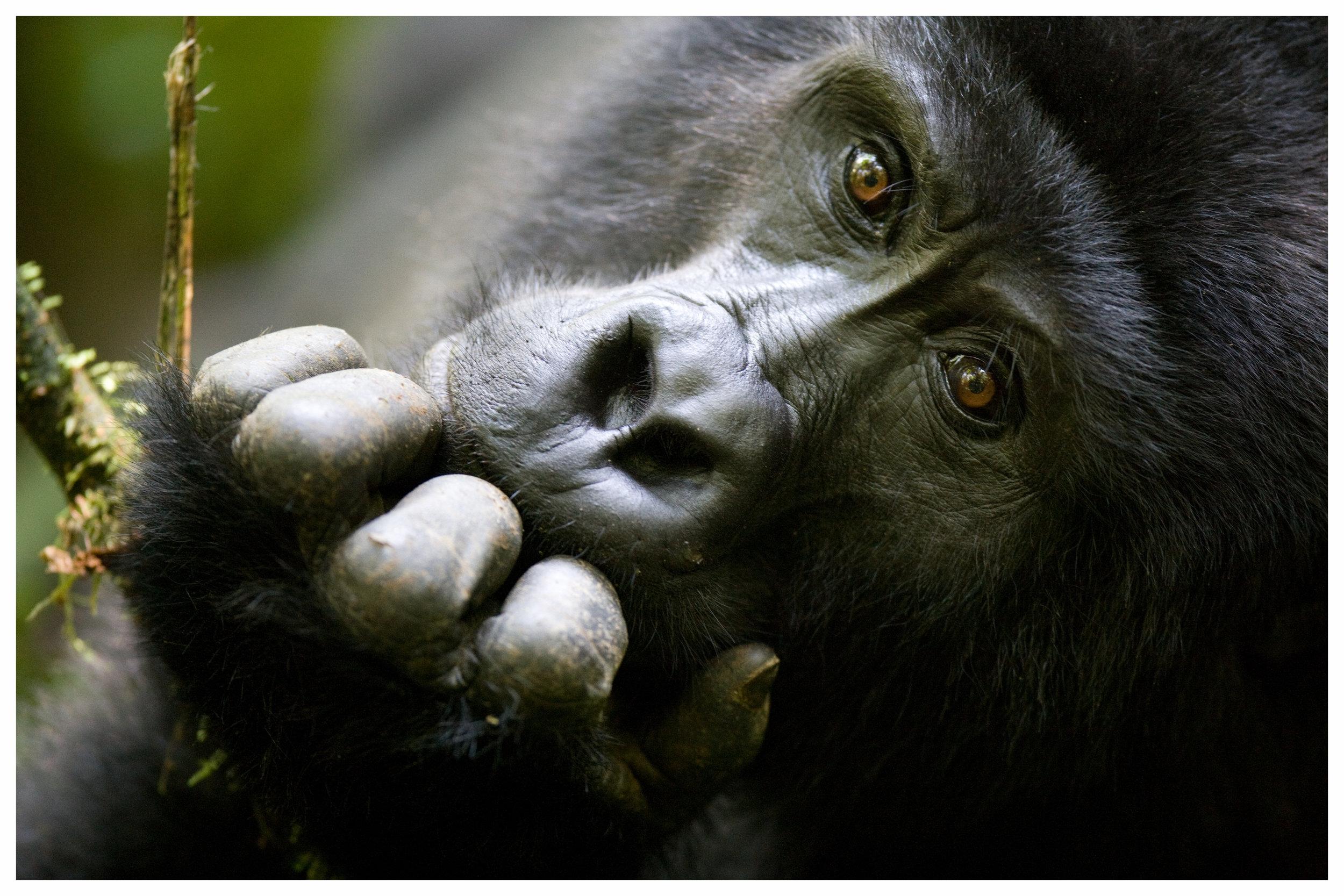Uganda & RuandaZuhause der Berggorillas - Reisen in die relativ kleinen Länder Uganda und Ruanda werden oft mit einem Besuch in Kenia oder Tansania kombiniert. Die Hauptattraktionen der beiden zentralafrikanischen Länder sind mit Sicherheit die Gorillas. Der Besuch bei unseren nahen Verwandten ist ein erfreifendes Erlebnis, das tief unter die Haut geht und besonderen Wert hat. Sie leben in Großfamilien in den hochgelegenen Regenwäldern von Uganda und Ruanda zusammen und können nur im Rahmen einer offiziellen, recht kostspieligen Führung besucht werden, deren Erlöse zum großen Teil dem Schutz der Tiere zu Gute kommt. Um die bedrohten Tiere vor Belastung zu schützen, sind die Besucherzahlen außerdem stark begrenzt. Sogenannte Permits sind zwar limitiert, selbstverständlich besorgen wir diese aber für unsere Gäste im Voraus, so dass Ihnen ein Platz sicher ist.