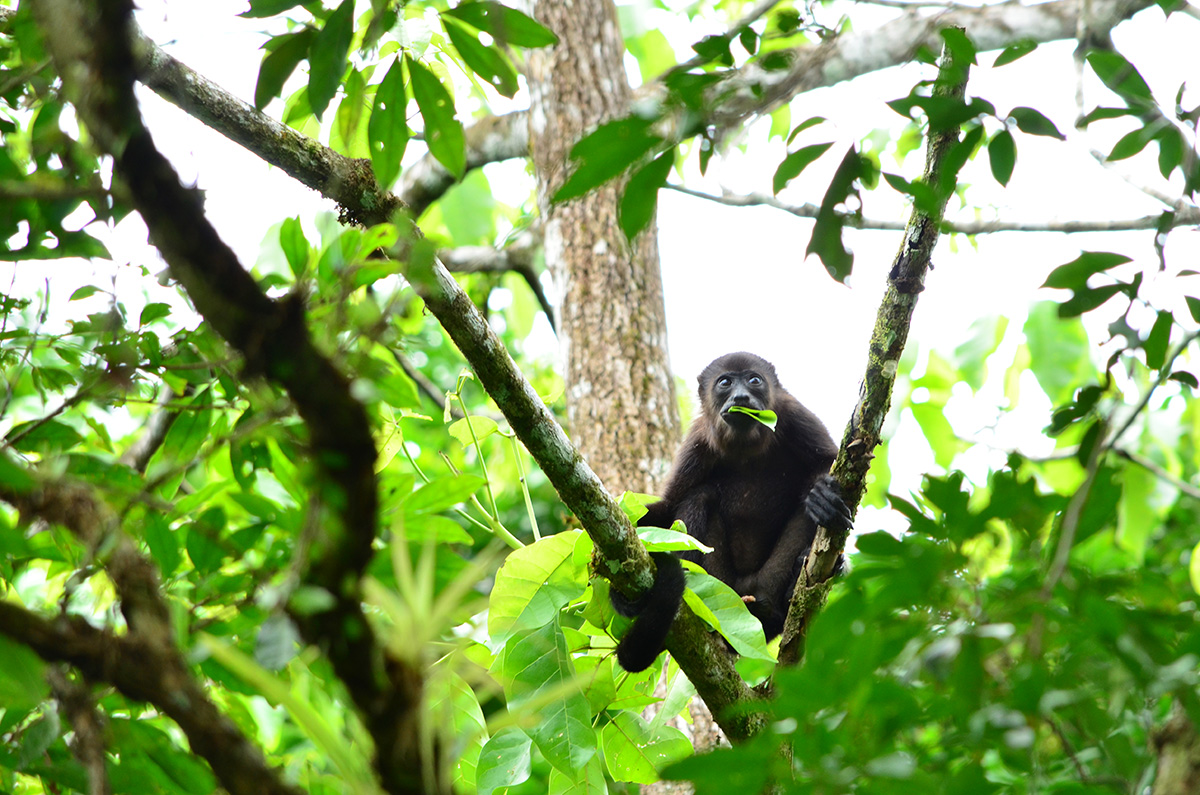 Incredible loud howls but soft animals, a howler monkey chewing on his favorite leaf.