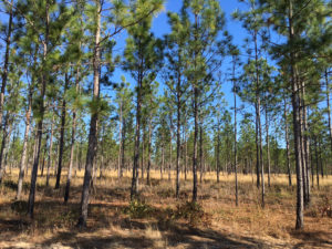 Well-managed sandhill habitat in the upper Apalachicola River basin.