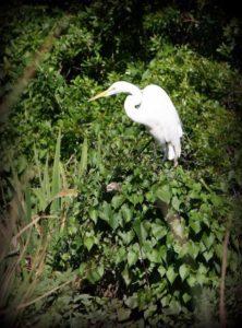 A great egret perches on the edge of the Wacissa River at the Aucilla WMA bioblitz. Photo by Emily Ellis.