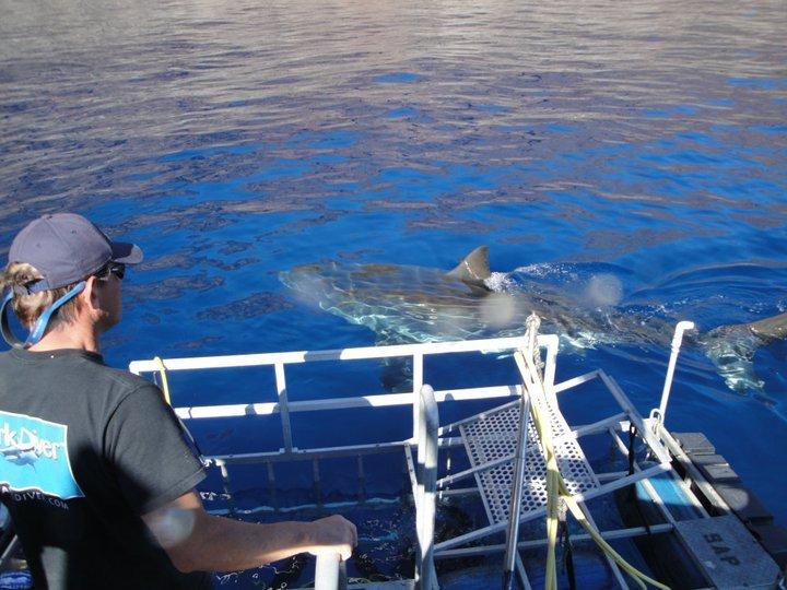 shark at cage.jpg