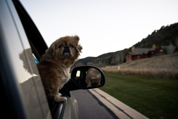 Famlly dog in outside car window with wind blowing in his hair.