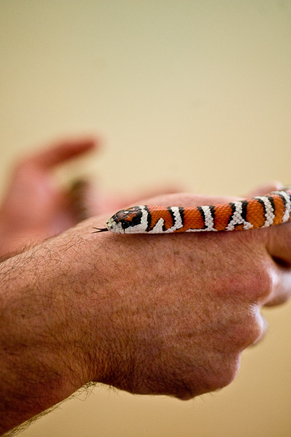 Man's hand and a snake with tongue poking out.