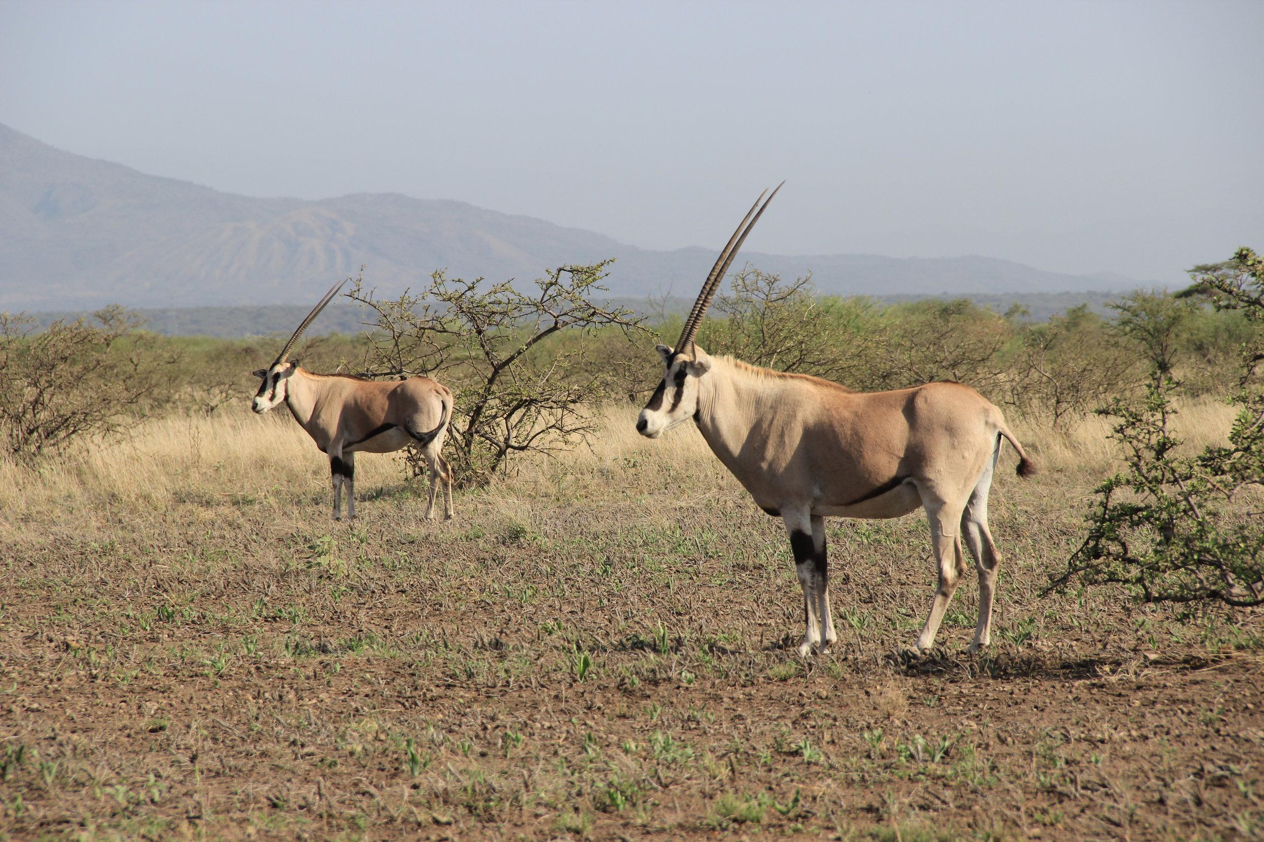 Awash Oryx 2.JPG