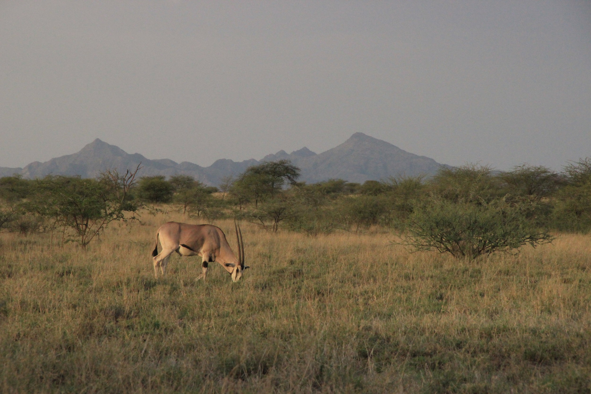 Awash Oryx.JPG