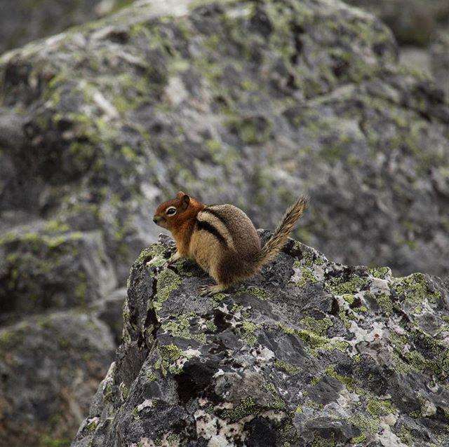 Caught in the Act #goldenmantledgroundsquirrel #canada #rockies #canadianrockies #banffnationalpark #wildlife #nature #mammals #squirrel #gingerssticktogether