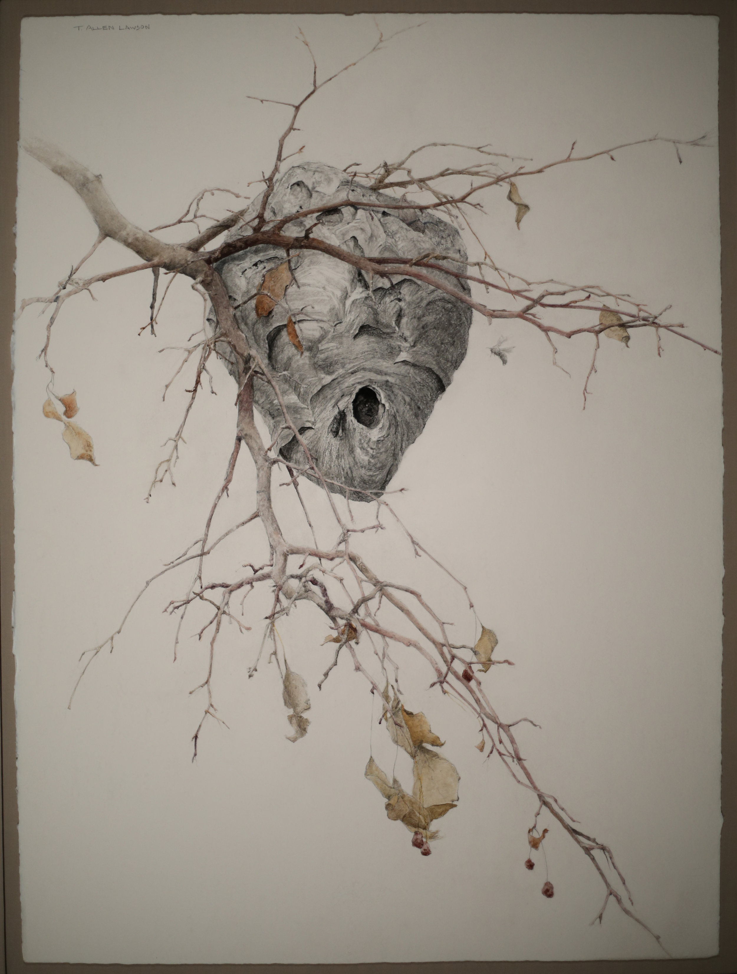 Nest with Two Wasps, graphite and pastel on handmade paper, 30 x 22in. Collection of Mr. and Mrs. David McCullough