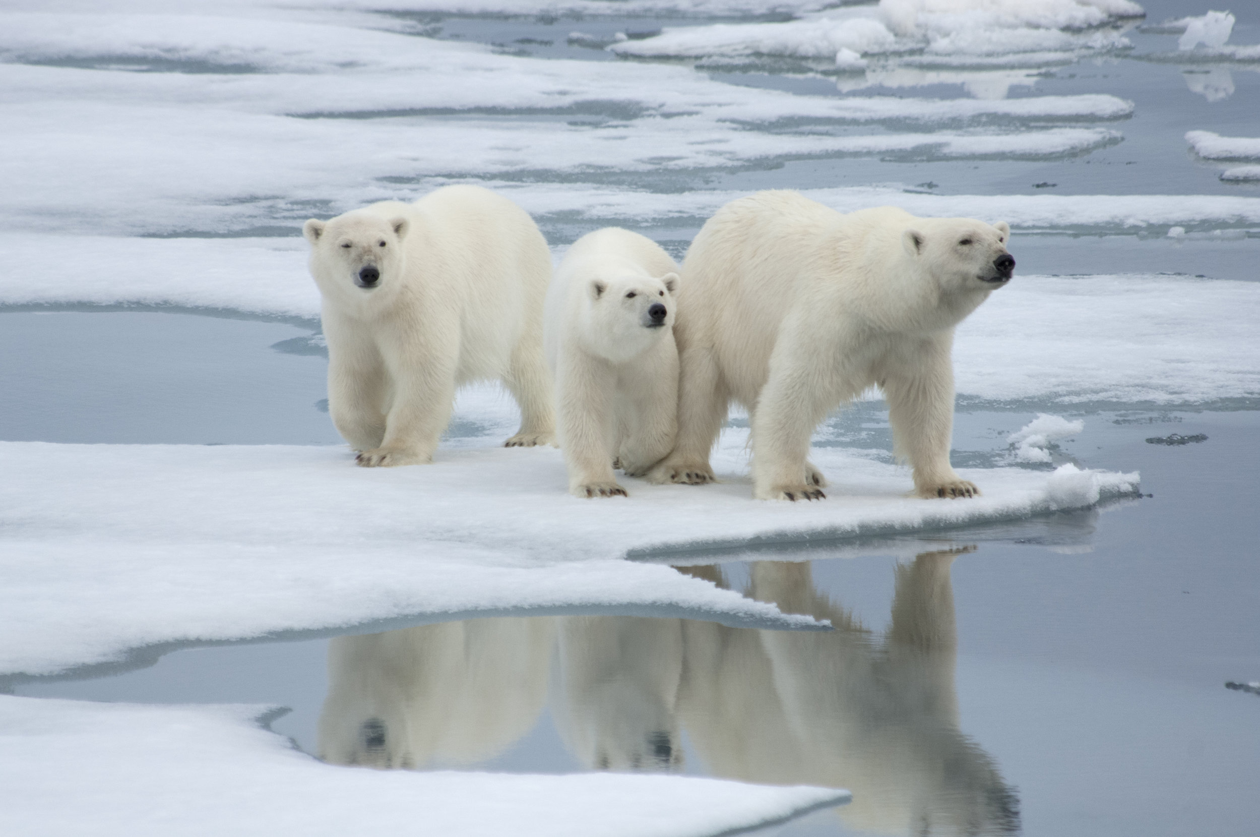 13. A requirement to bear arms against bears? - Anyone who decides to venture outside Longyearbyen, a town in Svalbard, Norway, is required to carry a rifle for protection against polar bears. Longyearbyen is known for polar bears coming into the town but are extremely active right outside of town.