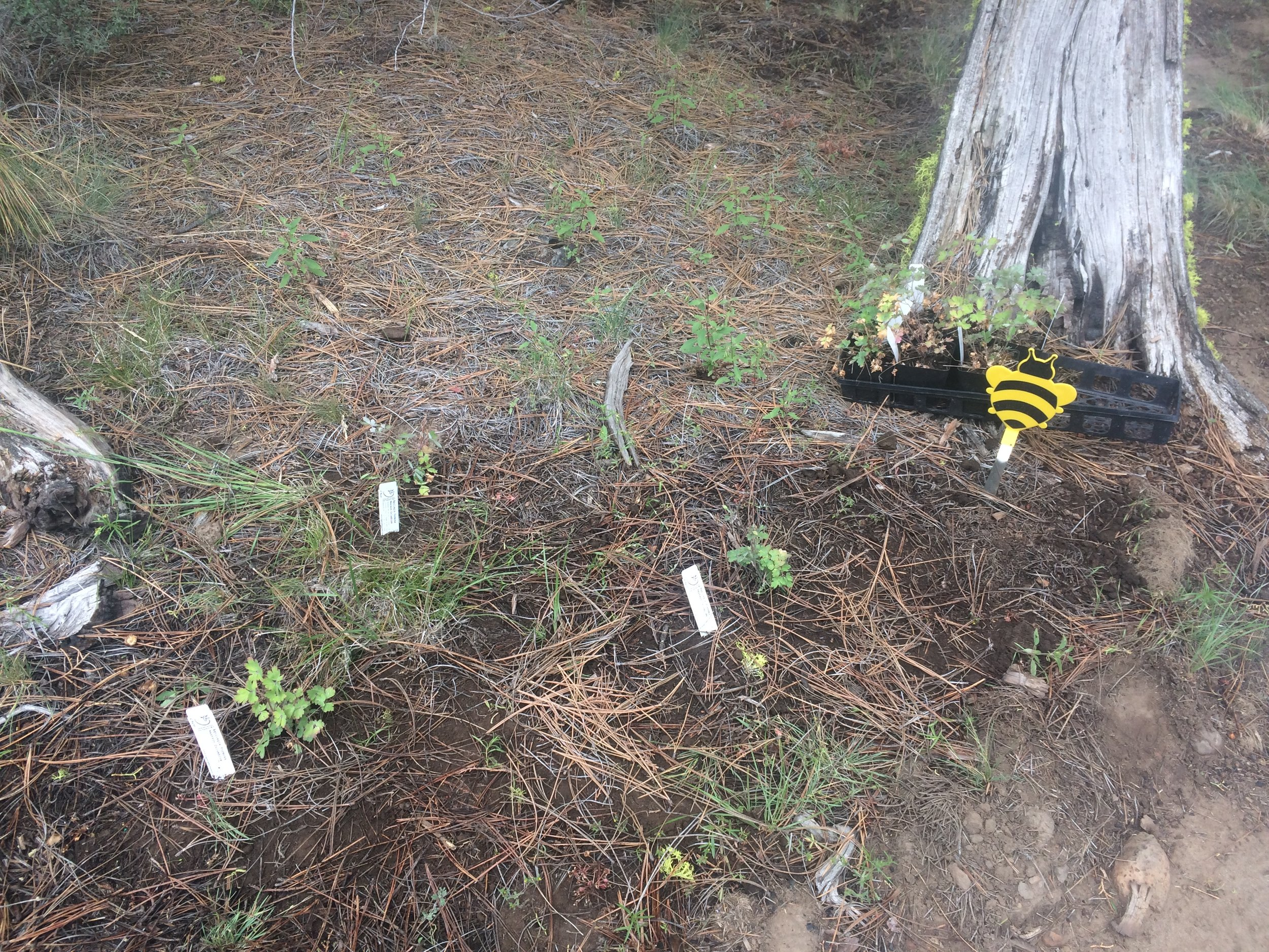 We are planting native wildflowers and trees to supplement the pollen and nectar sources available for bees and local native pollinators. We planted two small patches of native columbine along the path to the apiary (and there's already a bunch growing on the land).