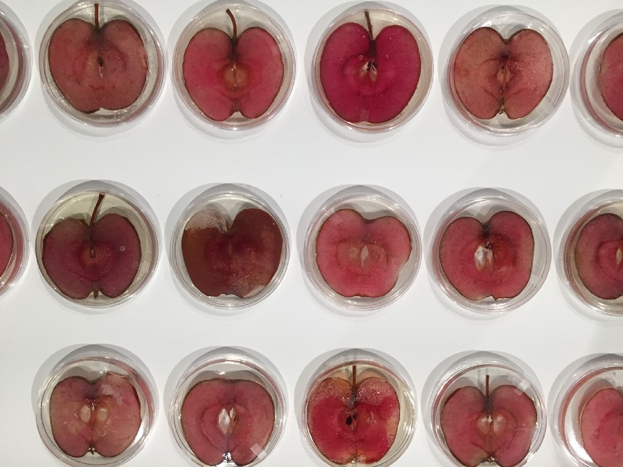 Repurposed-46, an artwork by Andrew Pelling that featured 46 apple slices embedded with HeLa cells. Photo: Andrew Pelling