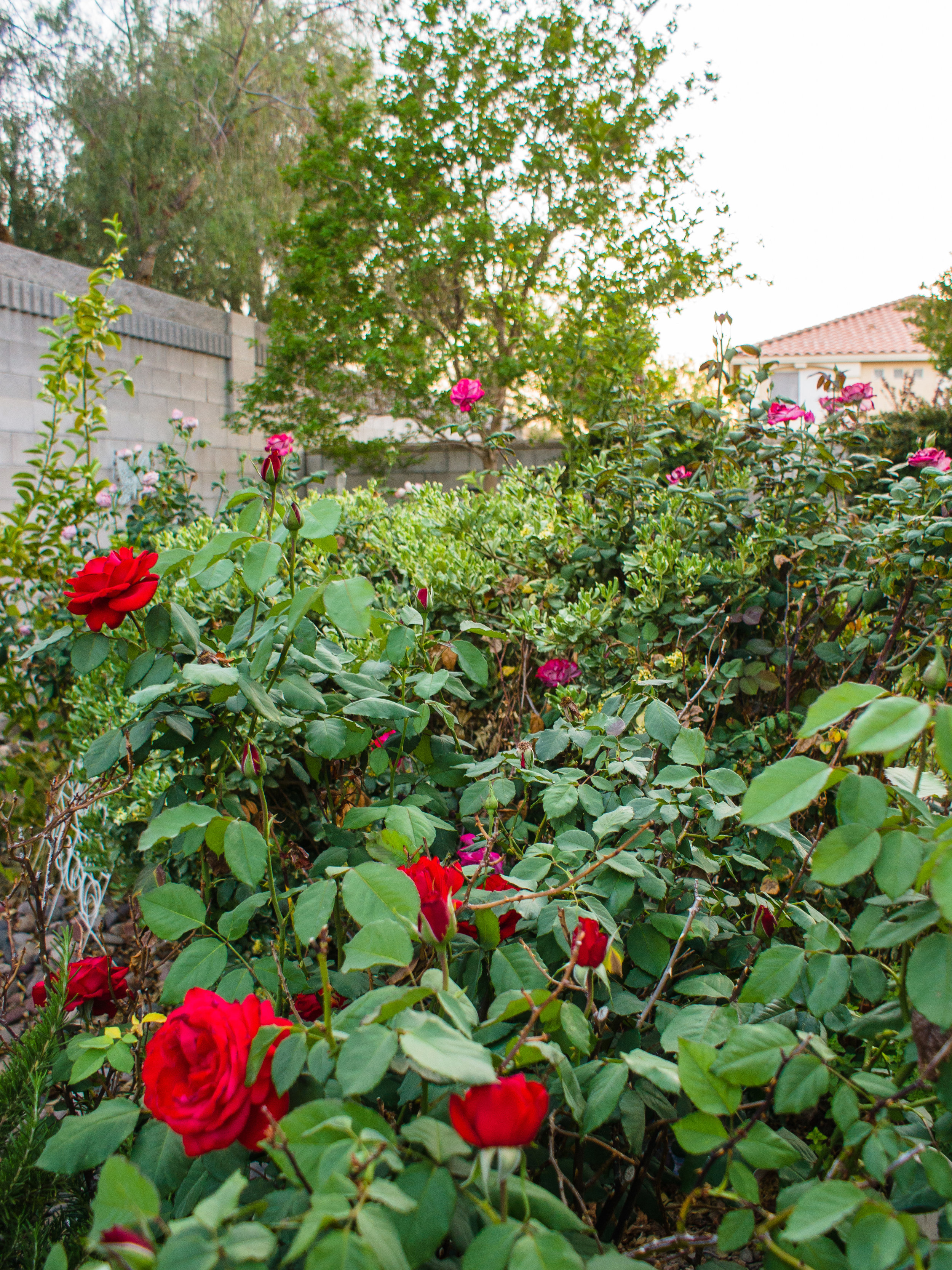 SLT roses.jpg