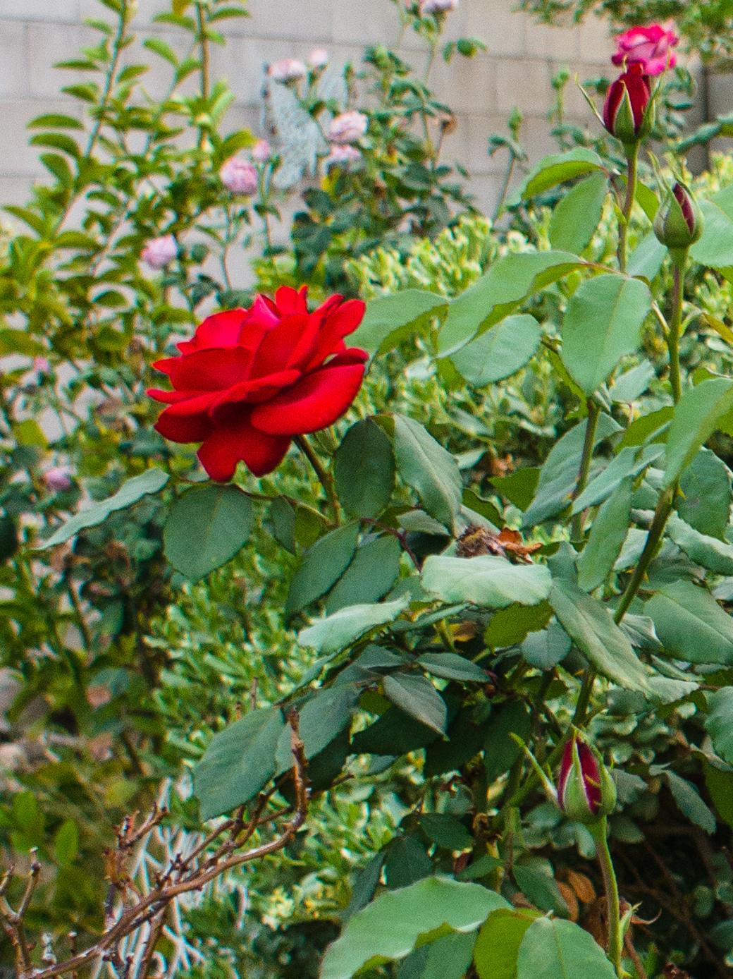 SLT roses left.jpg