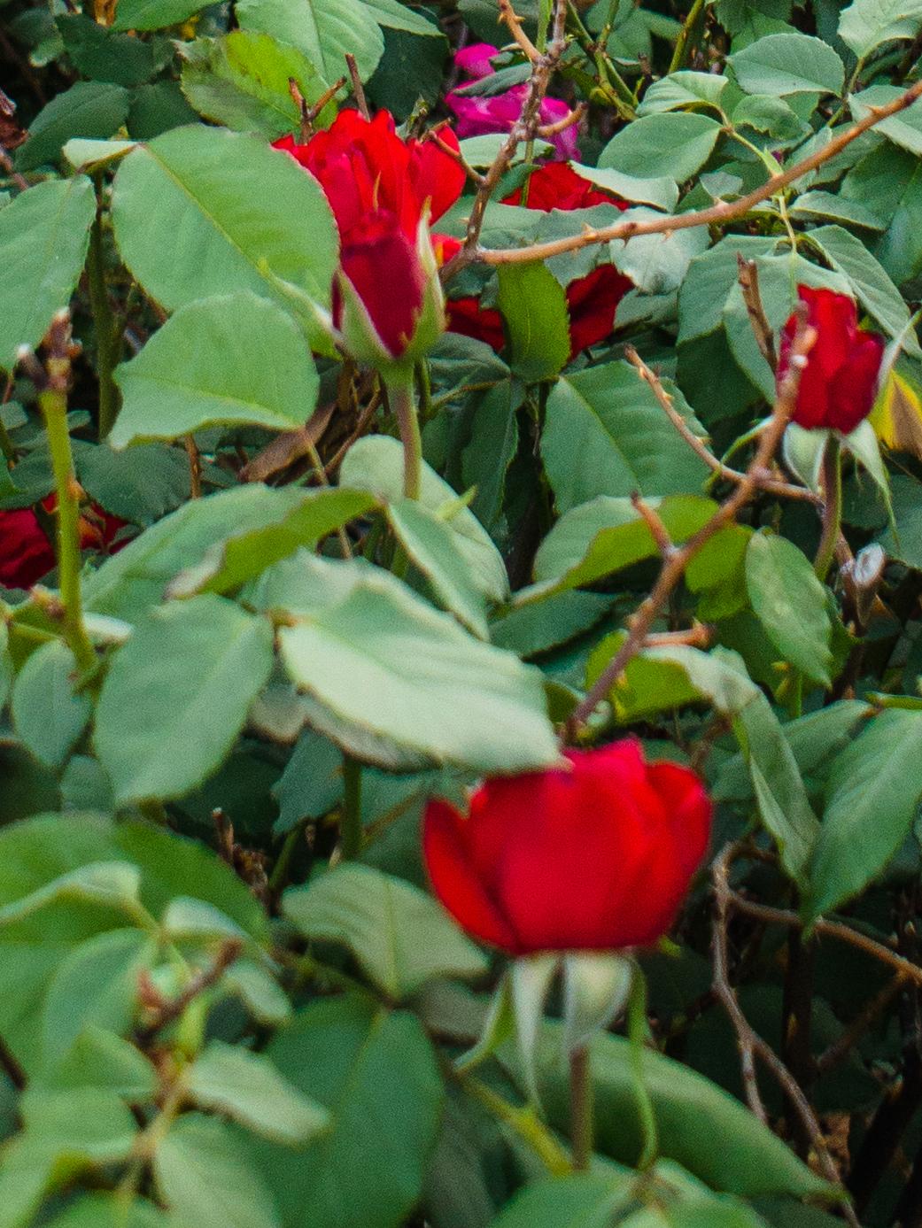 SLT roses bottom.jpg