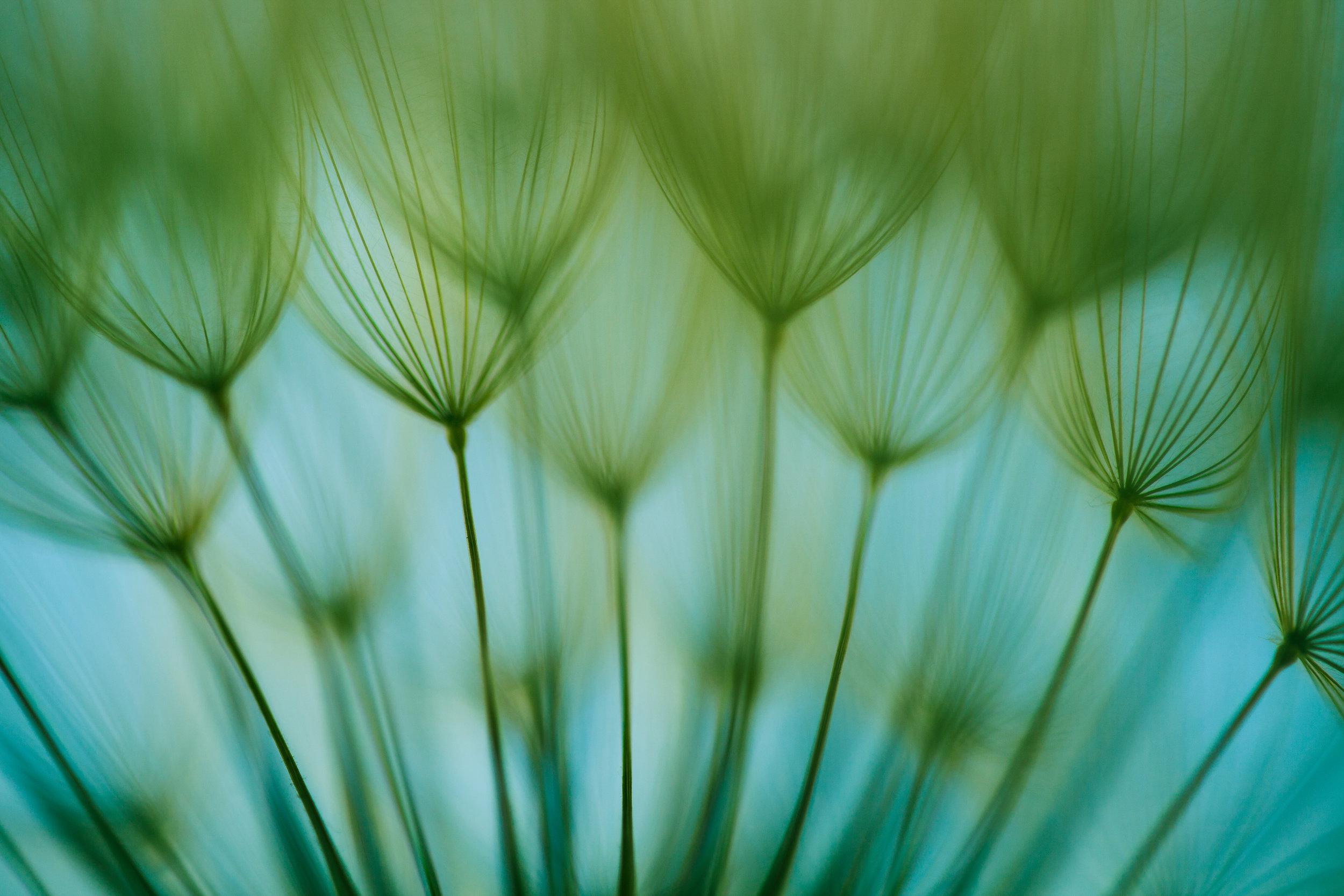 Dandelion close up.jpg