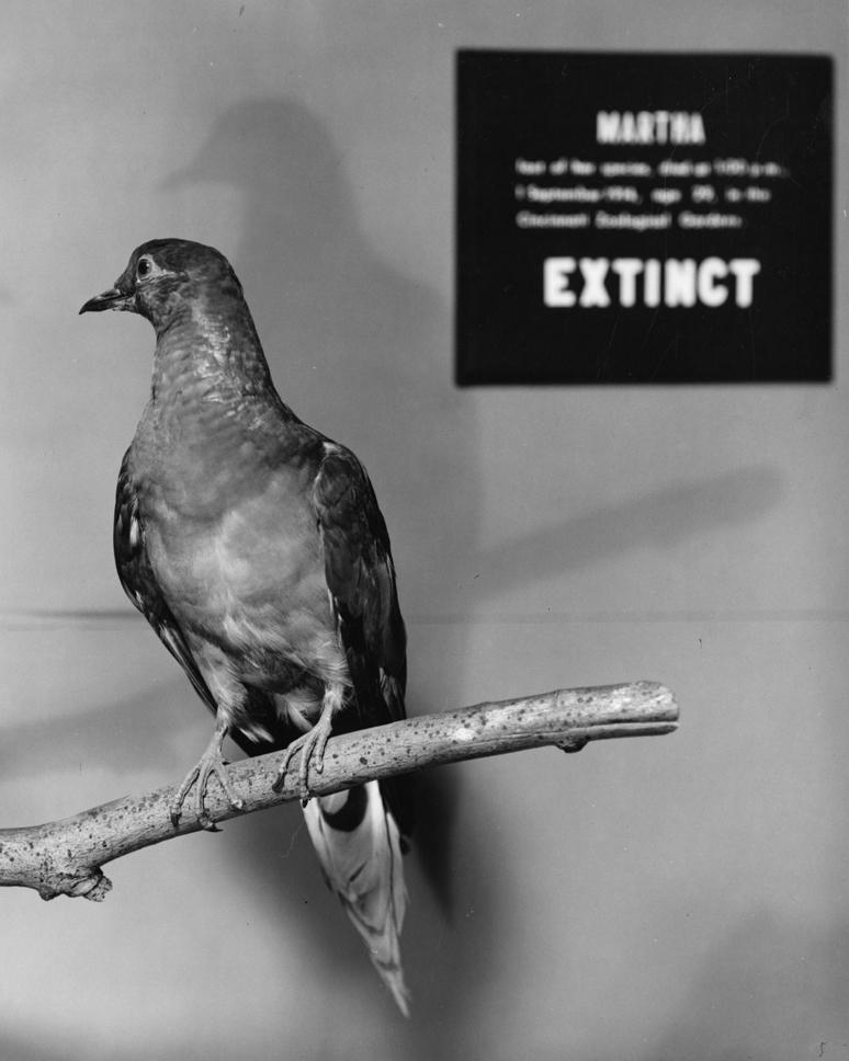 Martha,_a_Passenger_Pigeon.jpg
