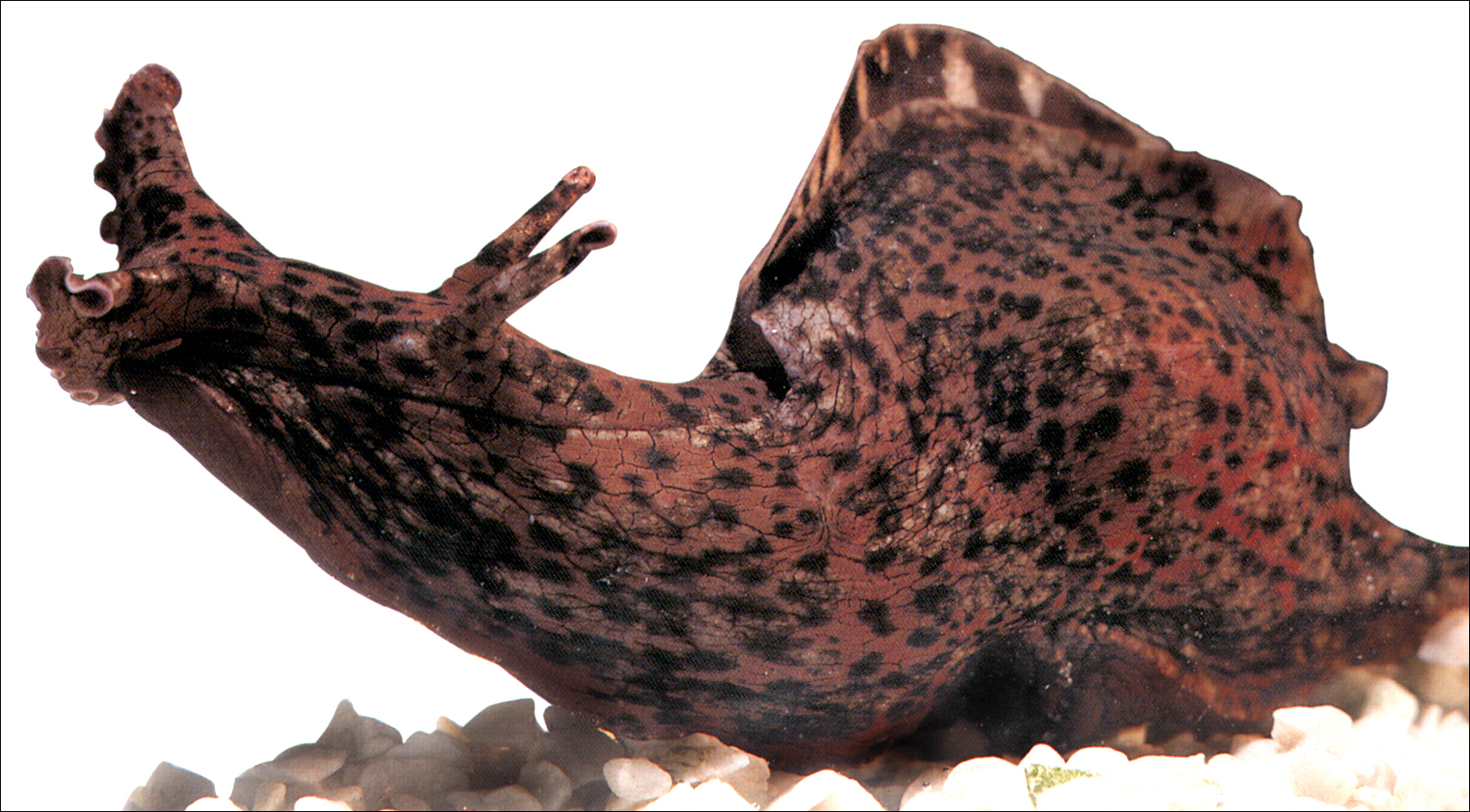 Aplysia Californica, better known as a sea slug