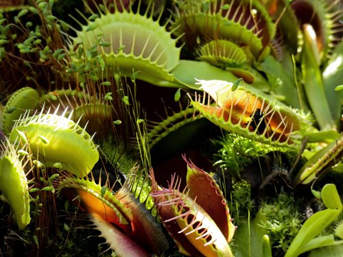 Venus-Fly-Trap-Insect.jpg