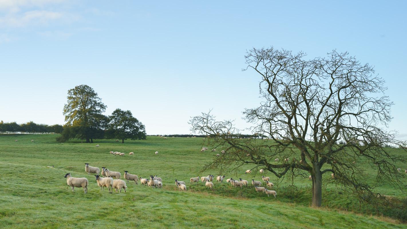 #9 - Grazing flock of sheep