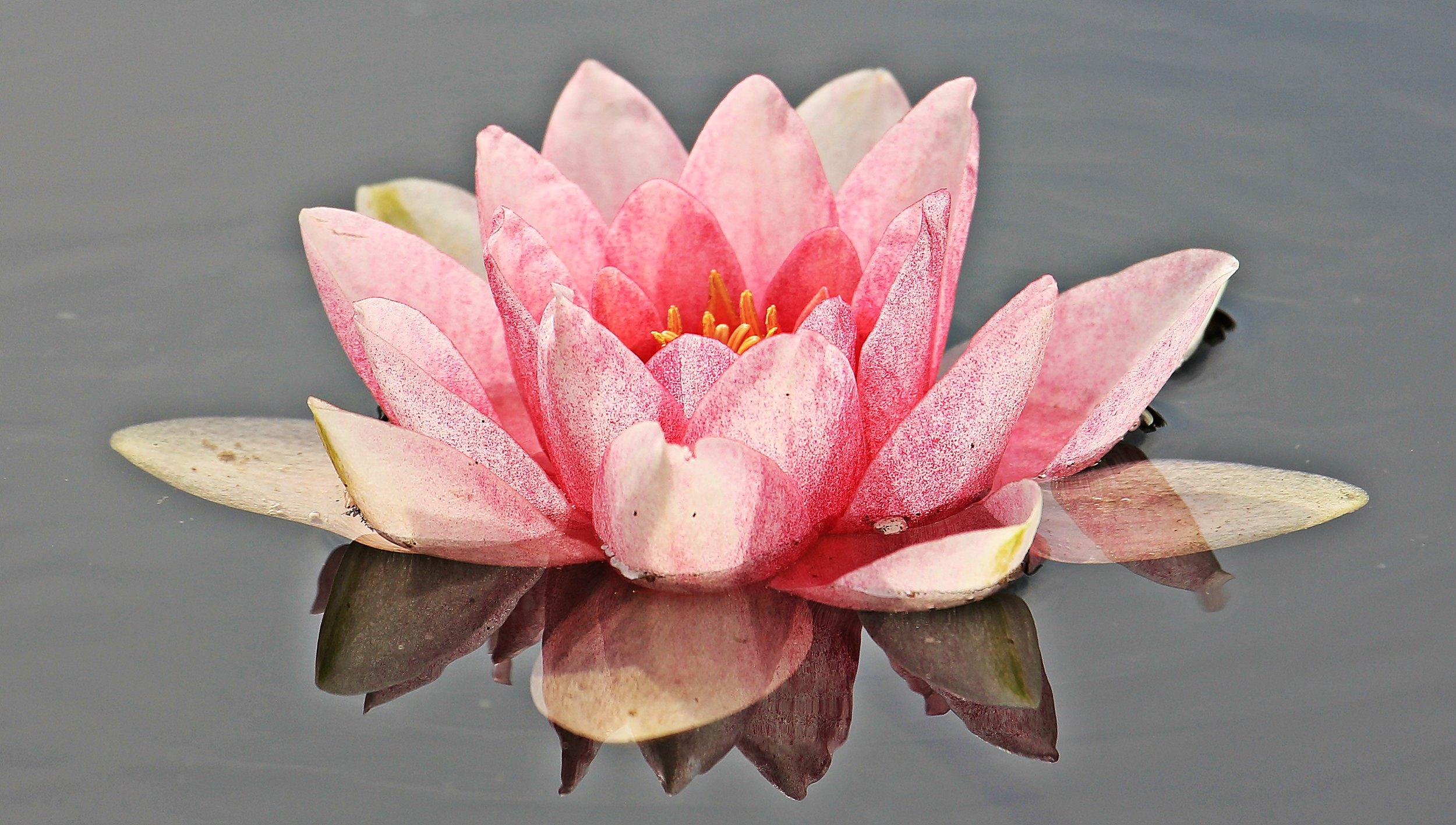 water-lily-nuphar-lutea-aquatic-plant-mirroring-158567.jpeg
