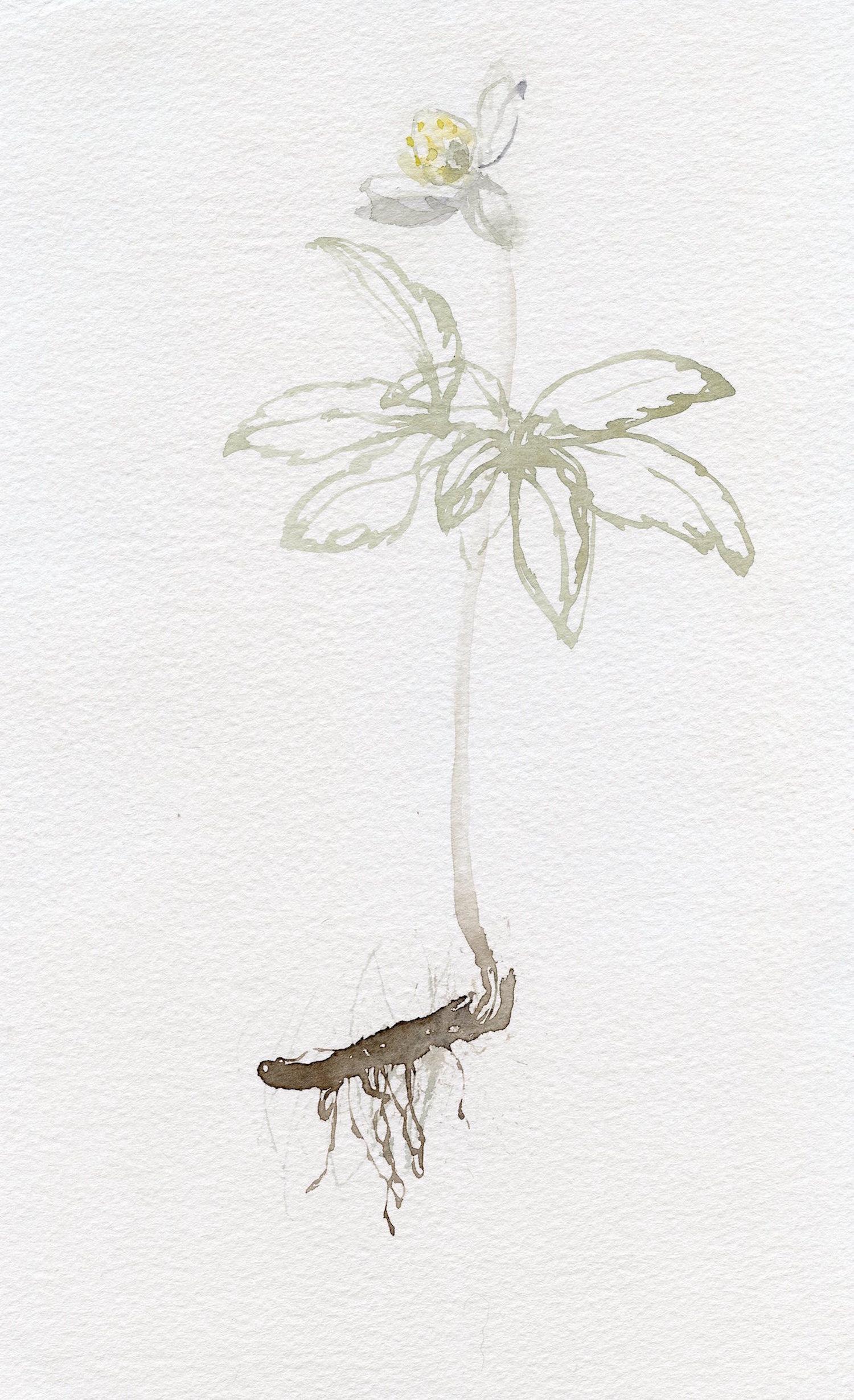 wood anemone   watercolour  27x18cm