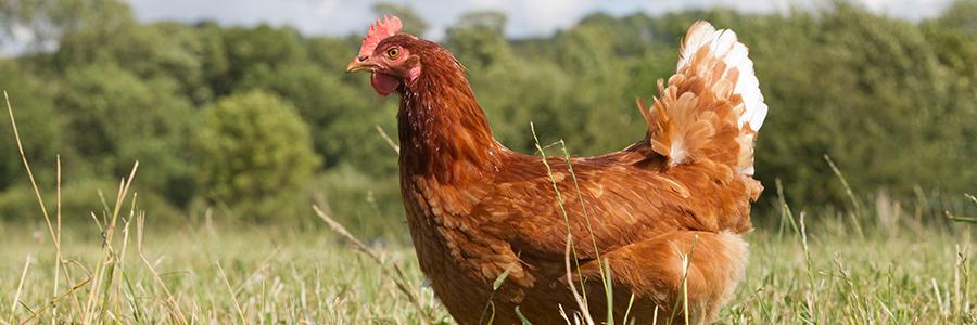....Enhancing the health and welfare of your flock..Gwella iechyd a llesiant eich haid....