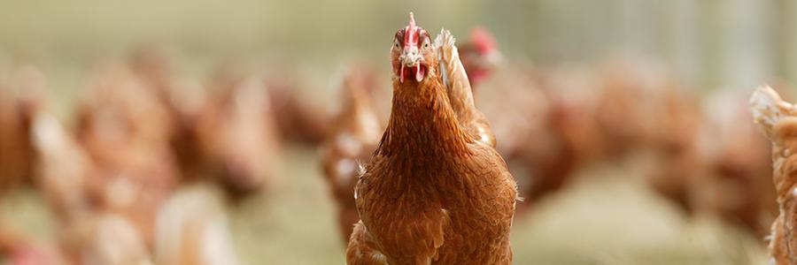 ....  Advancing poultry performance, since 1932  ..  Yn hyrwyddo perfformiad dofednod, ers 1932  ....