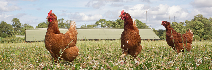 Brexit could be an opportunity for entering poultry