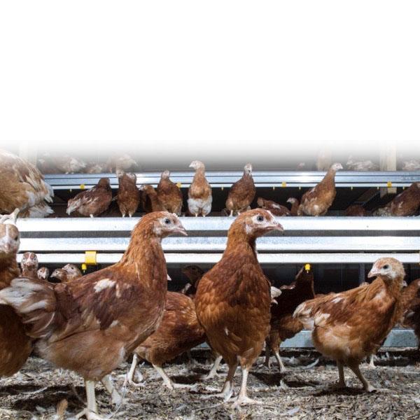 ....Our Mission..Ein Cenhadaeth.... - ....Our mission is to help independent poultry farmers and their families, optimise their flock performance, welfare and profit...Ein cenhadaeth yw helpu ffermwyr dofednod annibynnol, a'u teuluoedd, i sicrhau bod eu haid yn perfformio ar ei gorau, ei bod yn byw bywyd mor fodlon â phosibl ac yn gwneud cymaint o elw â phosibl.....