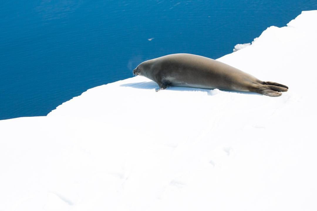 A crabeater seal chillin on an ice floe     #antarcticaordie    (at Antarctic)