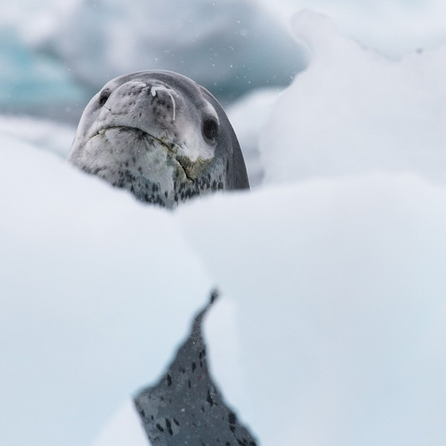 | PEEKABOO |    A portrait of a leopard seal    #antarcticaordie (at Antarctica)