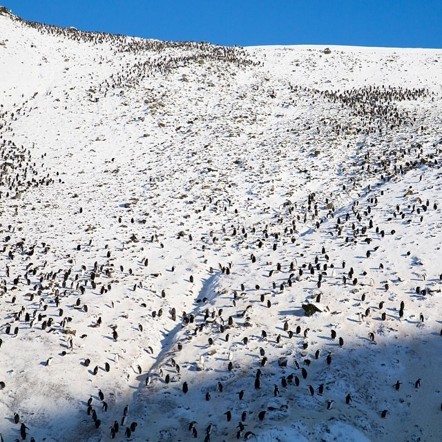 Despite this image that shows a large number of chinstrap penguins on Deception Island, Antarctica, 1/3 of this breeding colony has been lost in the past 20 years most likely due to a warming planet.     #antarcticaordie (at Antarctica)