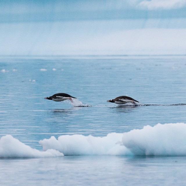 Porpoising Penguins II     #antarcticaordie (at Antarctica)