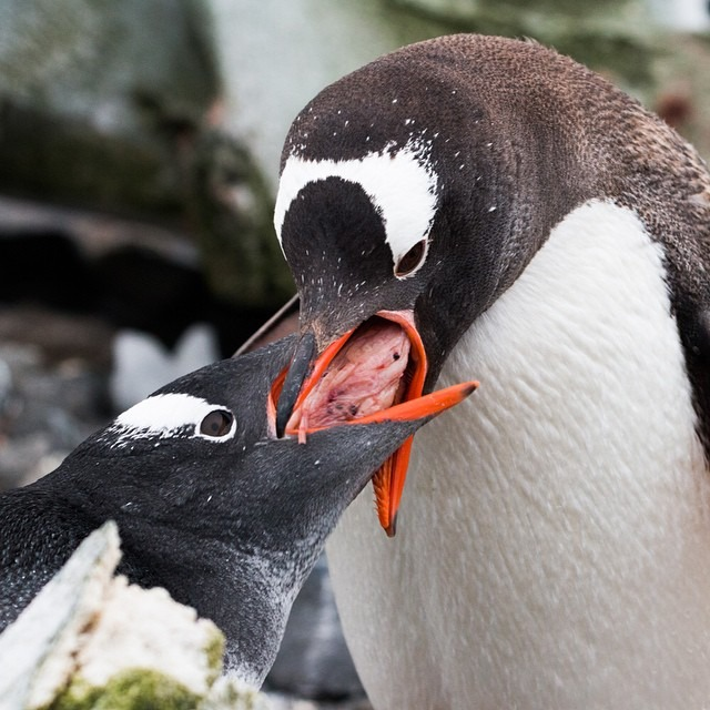 | FEEDING TIME |    A Gentoo penguin feeds it's chick a large piece of krill to prepare it for winter, which is fast approaching.   It's common to see parent Gentoo penguins leading their chicks on a feeding chase, forcing the chicks to exercise and learn how to become independent.     #antarcticaordie (at Antarctica)
