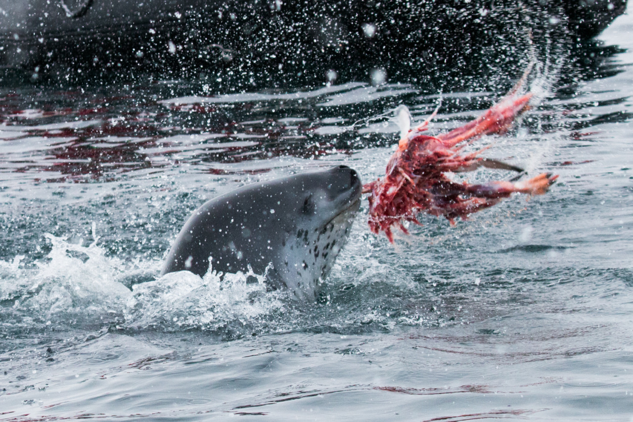 | PENGUIN BREAKFAST |    Leopard seals violently whip penguins back and forth to skin them. It was extraordinary to witness this first hand in Antarctica.    Check out Paul Nicklen's leopard seal photo series to see some incredible images of these wild beasts.     #antarcticaordie (at Antarctica)